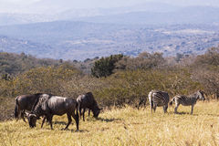 Wildebeest and Zebra on  Hillside Overlooking Hills and Valleys Royalty Free Stock Photo