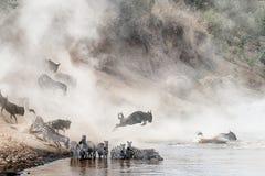 Wildebeest and Zebra Mara River Crossing Royalty Free Stock Image