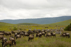 Wildebeest and zebra in Ngorongoro crater Royalty Free Stock Image