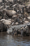 Wildebeest and Zebras Royalty Free Stock Images