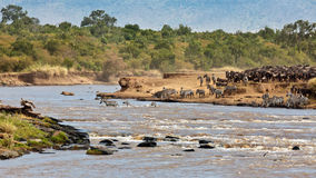 Wildebeest and zebras crossing the river Mara. Masai Mara Game Reserve, Kenya Royalty Free Stock Image