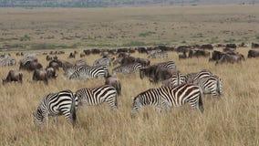 Wildebeest and zebras grazing stock video