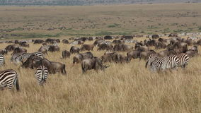 Wildebeest and zebras grazing stock video