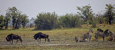 Wildebeest and Zebras Royalty Free Stock Photography