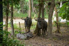 Wildebeest in the zoo. Wildebeest in Chiangmai nightsafarii zoo Royalty Free Stock Images