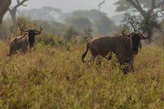 Wildebeestantilope in de savanne wilde aard van Afrika royalty-vrije stock afbeelding
