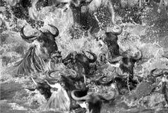 Wildebeestchaos terwijl het kruising van Mara rivier Royalty-vrije Stock Afbeeldingen