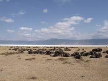 Wildebeeste lying down. Wildebeeste lying by Ngorongoro dried up lake, Ngorongoro crater, Serengeti, Tanzania Stock Photos