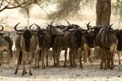WildebeestflockStaredown Royaltyfria Foton