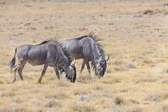 Wildebeestgroep Royalty-vrije Stock Foto's