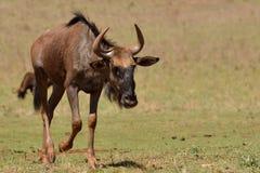 Wildebeestkalf Stock Fotografie