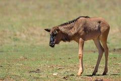 Wildebeestkalf Royalty-vrije Stock Afbeeldingen