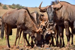 Wildebeestkudde 2 Stock Foto