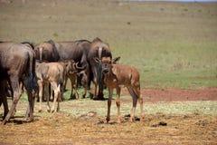 Wildebeestkudde Royalty-vrije Stock Afbeelding