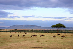 Wildebeestkudde Masai Mara Kenya Africa Stock Foto