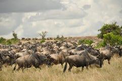 Wildebeestmigratie Royalty-vrije Stock Afbeeldingen