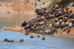 Wildebeestmigratie Royalty-vrije Stock Foto's