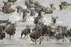 Wildebeestmigratie royalty-vrije stock afbeelding