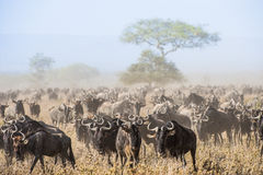 Wildebeestmigratie De kudde van migrerende antilopen gaat op stoffige savanne Wildebeests, riepen ook gnus of wildebai, is a Royalty-vrije Stock Foto