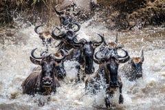 Wildebeestmigratie in Serengeti Stock Fotografie