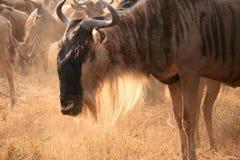 Wildebeestportrait Lizenzfreies Stockfoto
