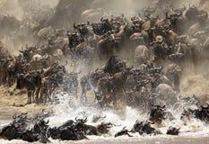 Wildebeests śpieszy się krzyżować Mara rzekę fotografia royalty free