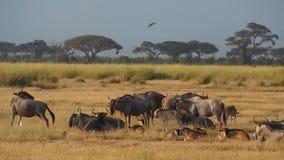 Wildebeests, εθνικό πάρκο Amboseli, Κένυα απόθεμα βίντεο