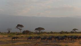 Wildebeests, εθνικό πάρκο Amboseli, Κένυα φιλμ μικρού μήκους
