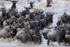 Wildebeests. Wildebeest crossing the Mara river Royalty Free Stock Photos