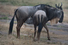 Wildebeests Royalty Free Stock Photo
