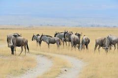 Wildebeests Fotografia Royalty Free