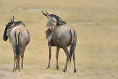 Wildebeests Stock Image