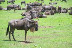 Wildebeests Royalty Free Stock Images