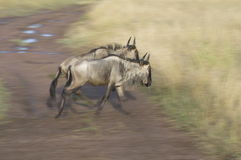 Wildebeests Stock Foto's
