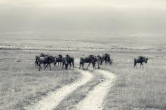 Wildebeests Zdjęcie Stock