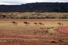 Wildebeests Royalty-vrije Stock Afbeelding