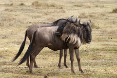 wildebeests Obrazy Royalty Free