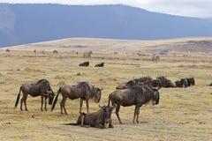 wildebeests Стоковая Фотография RF