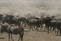 Wildebeests Lizenzfreie Stockfotografie