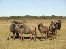 wildebeests Zdjęcia Stock