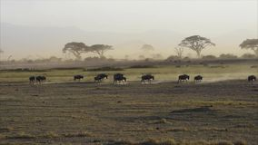 wildebeests stock footage
