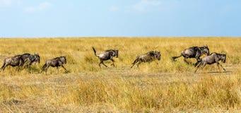 wildebeests Obraz Stock