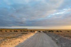 wildebeests Zdjęcie Royalty Free