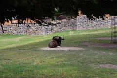 wildebeests imagens de stock