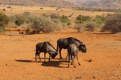 wildebeests Immagini Stock Libere da Diritti