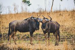 Wildebeests in Malawi, Africa royalty free stock photos