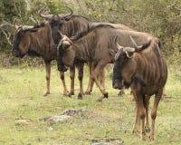 Wildebeest at Boteilierskop Reserve stock photo