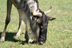 The wildebeests, also called gnus, are a genus of antelopes stock image