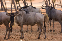 Wildebeests antelopes Royalty Free Stock Images