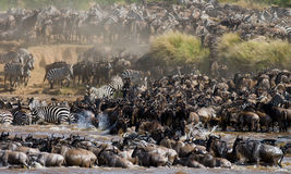 Free Wildebeests Are Crossing Mara River. Great Migration. Kenya. Tanzania. Masai Mara National Park. Royalty Free Stock Photography - 79882277